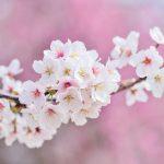 1本の桜のはなし
